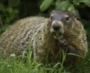 UCSD News Groundhog Day: A Slightly Sarcastic Origin Story -- but It's True for UC San Diego Students in La Jolla, CA